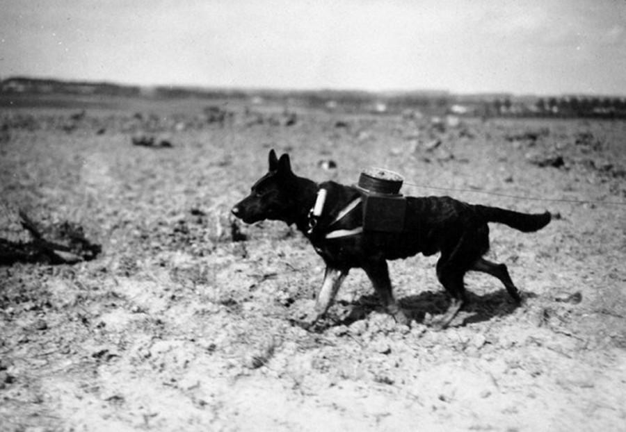 Собаки-герои связисты: интересные факты о ВОВ