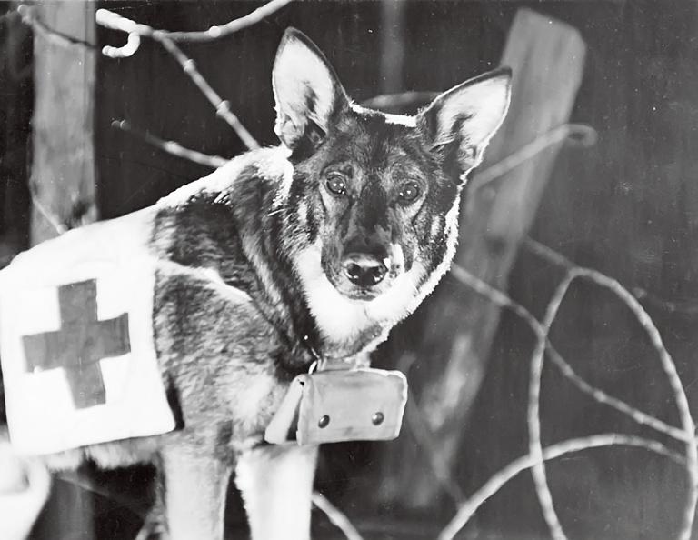 Собаки-герои санитары: интересные факты о ВОВ